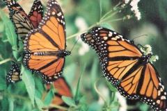 MonarchButterfliesgroupatNahmainthefallpreparingfortheirflightsouth_111