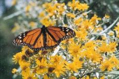monarch3hansen_6